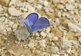 Karner Blue male  MG2704.jpg