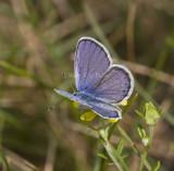 Karner Blue male  MG9104.jpg