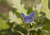 Karner Blue male  MG9334.jpg