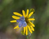 Karner Blue male  MG9847.jpg