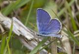 Karner Blue male   MG0062.jpg