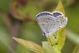 Karner Blue male  MG0023.jpg
