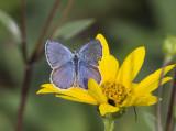 Karner Blue male  MG9721.jpg