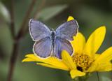 Karner Blue male  MG9724.jpg