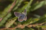 Karner Blue female  I9I0248.jpg