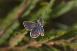 Karner Blue female  I9I0252.jpg