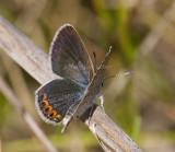Karner Blue female  I9I0220.jpg
