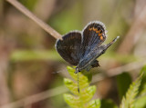 Karner Blue female  I9I0235.jpg