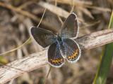 Karner Blue female  I9I0243.jpg