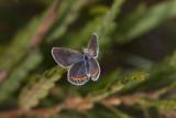 Karner Blue female  I9I0251.jpg