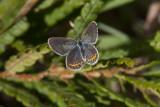 Karner Blue female  I9I0264.jpg