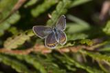 Karner Blue female  I9I0265.jpg