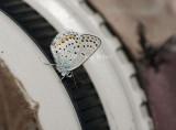 Karner Blue I9I0168.jpg