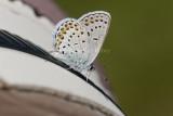 Karner Blue I9I0205.jpg