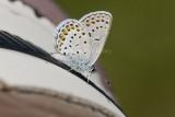 Karner Blue I9I0206.jpg