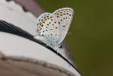 Karner Blue I9I0207.jpg