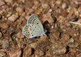 Karner Blue I9I9805.jpg