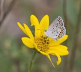 KARNER MELISSA BLUE (Plebejus melissa)