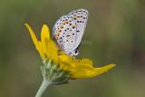 Karner Blue MG9389.jpg