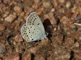 Karner Blue I9I9804.jpg