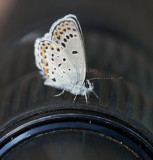 Karner Blue I9I9839.jpg