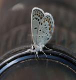 Karner Blue I9I9840.jpg