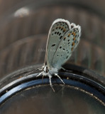 Karner Blue I9I9847.jpg