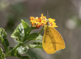 Large Orange Sulphur _MG_0271.jpg