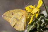 Large Orange Sulphur _MG_2351.jpg