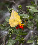 Large Orange Sulphur _MG_0188.jpg