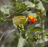 Large Orange Sulphur _MG_0192.jpg