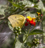 Large Orange Sulphur _MG_0193.jpg