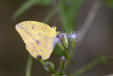 Large Orange Sulphur _MG_0766.jpg