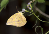 Large Orange Sulphur _MG_0770.jpg