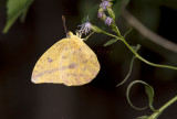 Large Orange Sulphur _MG_0771.jpg