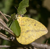 Large Orange Sulphur _MG_1903.jpg