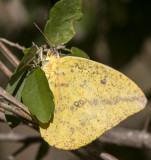 Large Orange Sulphur _MG_1907.jpg