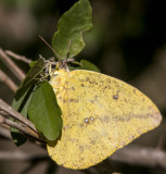 Large Orange Sulphur _MG_1910.jpg