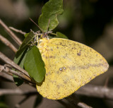 Large Orange Sulphur _MG_1911.jpg