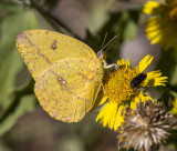 Large Orange Sulphur _MG_2281.jpg