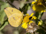 Large Orange Sulphur _MG_2282.jpg