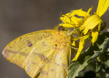 Large Orange Sulphur _MG_2350.jpg