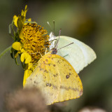 Large Orange Sulphur _MG_2573.jpg