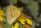 Large Orange Sulphur _MG_2799.jpg