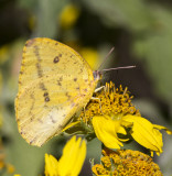 Large Orange Sulphur _MG_2800.jpg