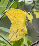 Large Orange Sulphurs mating _MG_0163.jpg