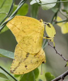 Large Orange Sulphurs mating _MG_0164.jpg