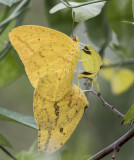 Large Orange Sulphurs mating _MG_0172.jpg