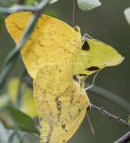 Large Orange Sulphurs mating _MG_0175.jpg