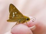 BUTTERFLIES: SKIPPERS (Lepidoptera - Hesperioidea)